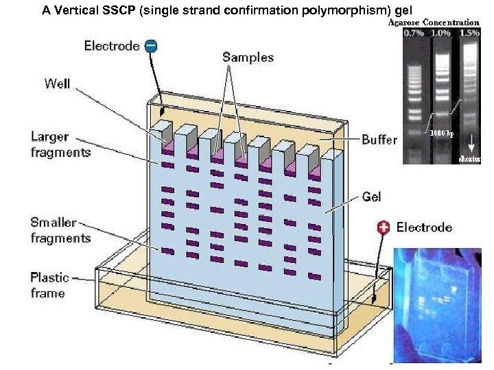 A Vertical SSCP (single strand confirmation polymorphism) gel Gel Electrophoresis
