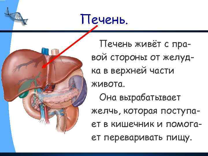 Печень живёт с правой стороны от желудка в верхней части живота. Она вырабатывает желчь,