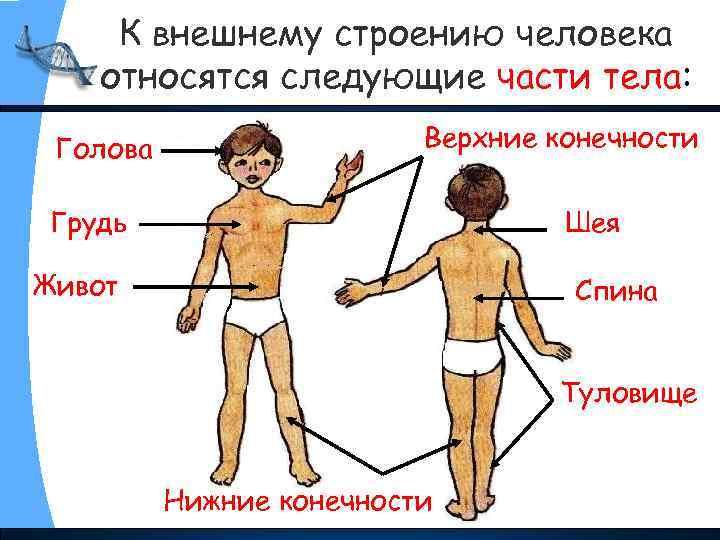 К внешнему строению человека относятся следующие части тела: Голова Верхние конечности Грудь Шея Живот
