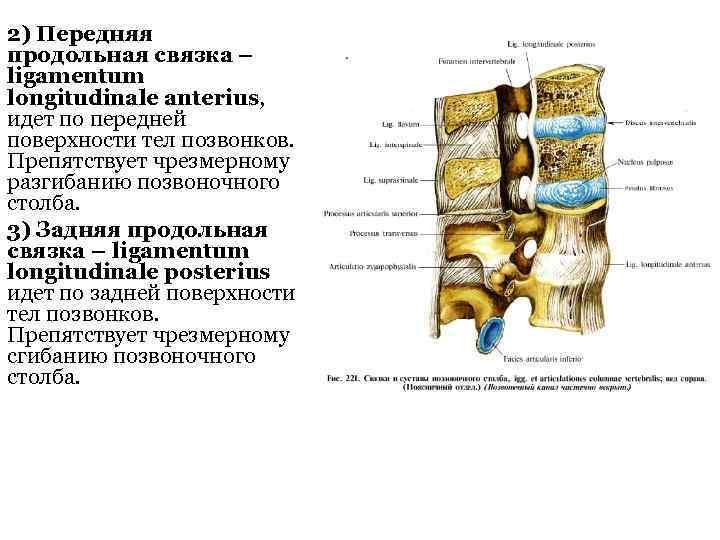 Передняя продольная связка позвоночника латынь