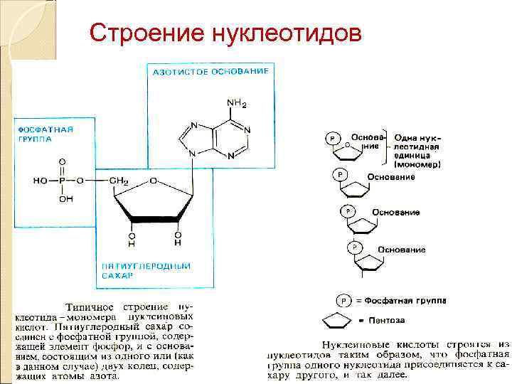 Строение нуклеотидов