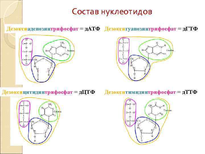 Состав нуклеотидов Дезоксиаденозинтрифосфат = д. АТФ Дезоксигуанозинтрифосфат = д. ГТФ Дезоксицитидинтрифосфат = д. ЦТФ