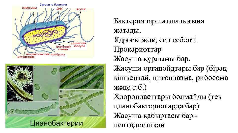 Бактериялар патшалығына жатады. Ядросы жоқ, сол себепті Прокариоттар Жасуша құрлымы бар. Жасуша органойдтары бар