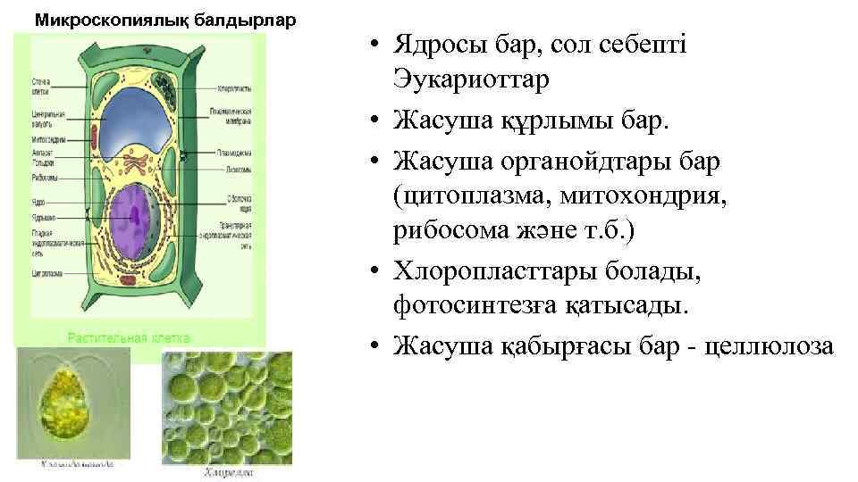 Микроскопиялық балдырлар • Ядросы бар, сол себепті Эукариоттар • Жасуша құрлымы бар. • Жасуша
