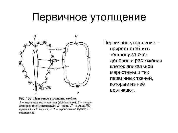 Первичное утолщение – прирост стебля в толщину за счет деления и растяжения клеток апикальной