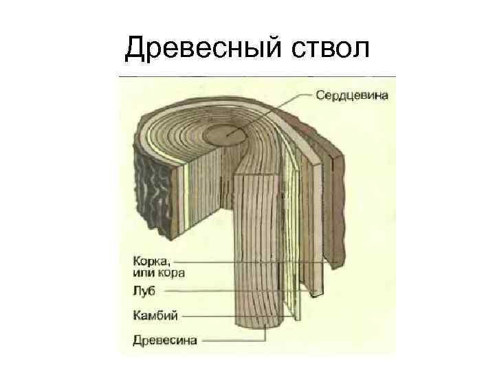 Древесный ствол