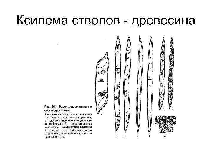 Ксилема стволов - древесина