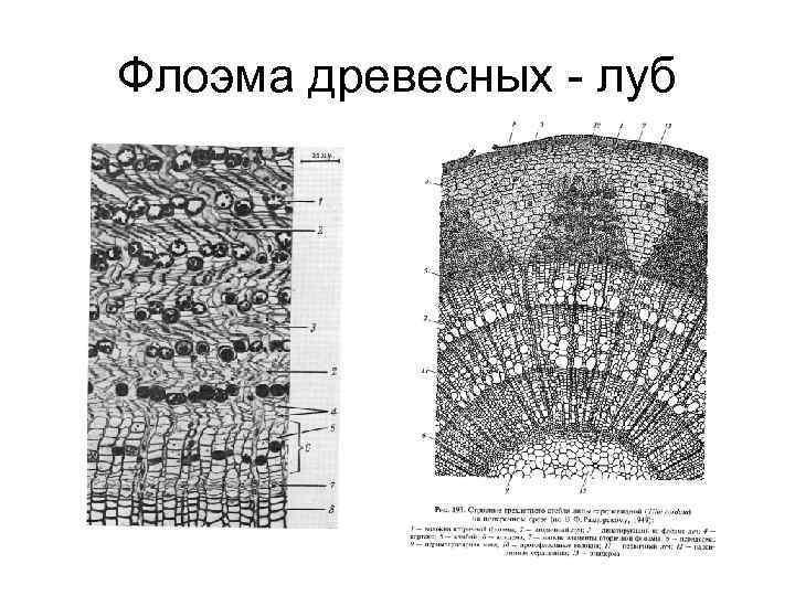 Флоэма древесных - луб