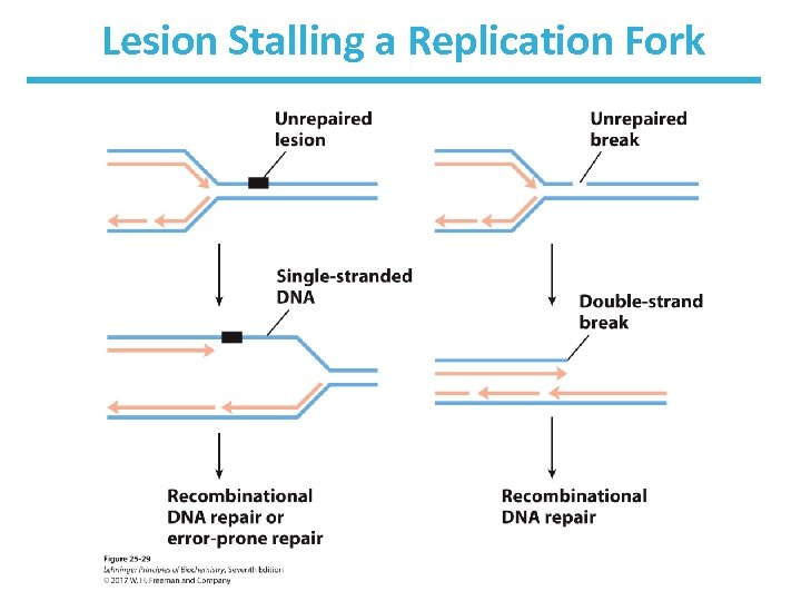 Lesion Stalling a Replication Fork