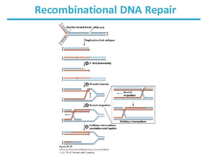 Recombinational DNA Repair