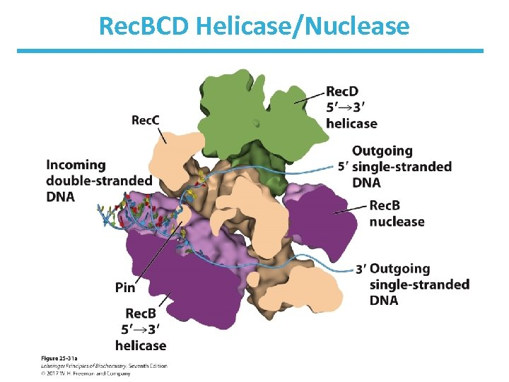 Rec. BCD Helicase/Nuclease