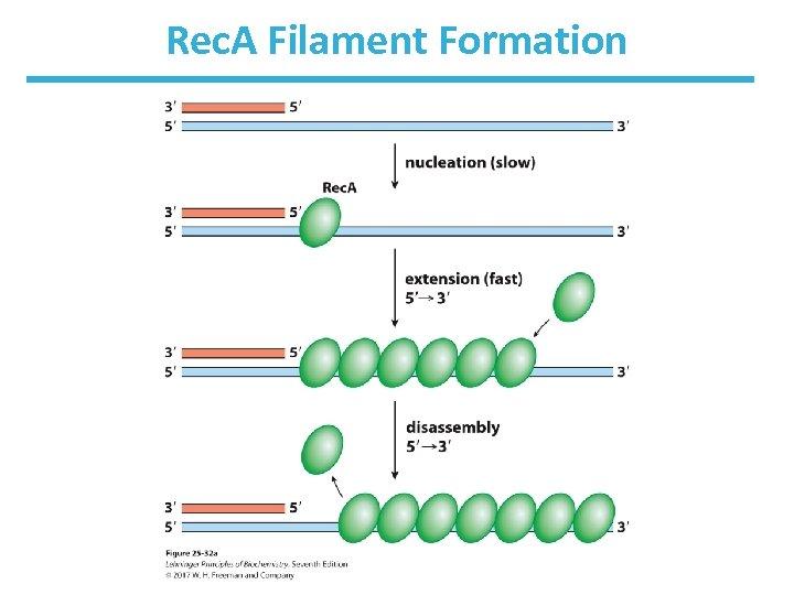 Rec. A Filament Formation