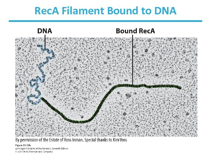 Rec. A Filament Bound to DNA