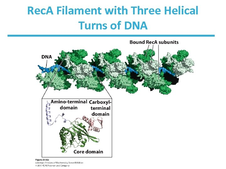 Rec. A Filament with Three Helical Turns of DNA
