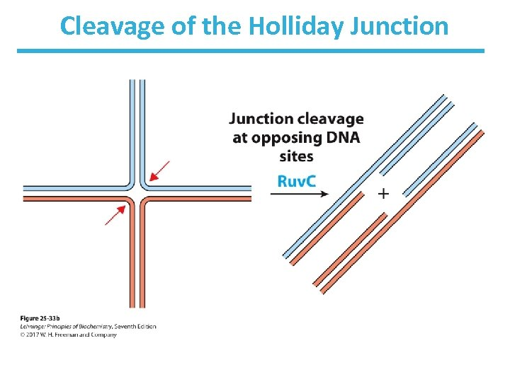Cleavage of the Holliday Junction