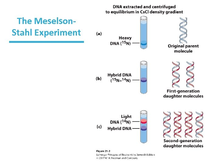 The Meselson. Stahl Experiment