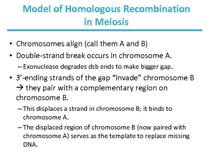 Model of Homologous Recombination in Meiosis • Chromosomes align (call them A and B)