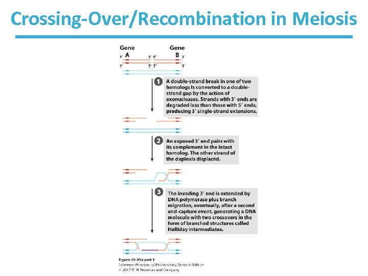Crossing-Over/Recombination in Meiosis