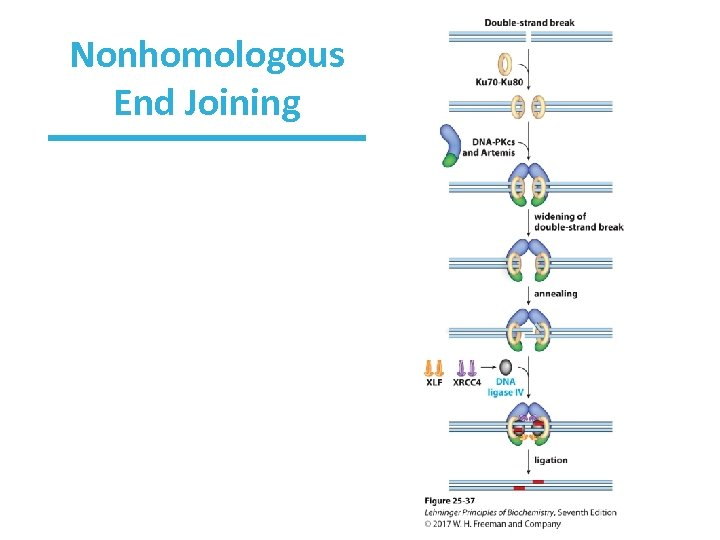 Nonhomologous End Joining