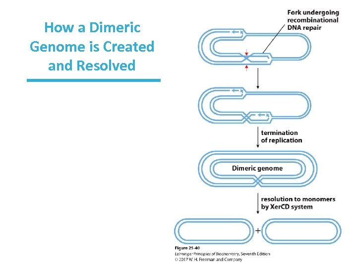 How a Dimeric Genome is Created and Resolved