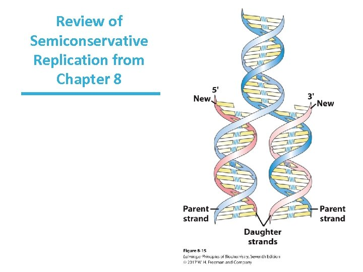 Review of Semiconservative Replication from Chapter 8