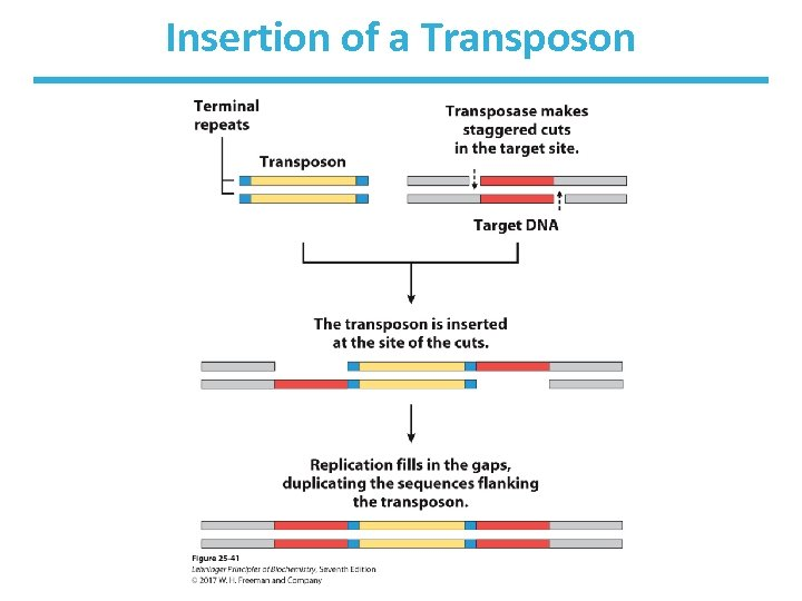 Insertion of a Transposon