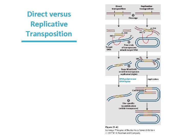 Direct versus Replicative Transposition