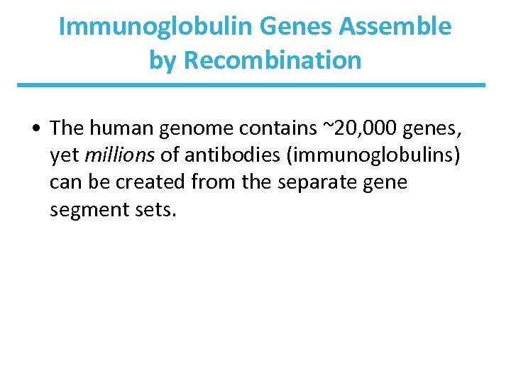 Immunoglobulin Genes Assemble by Recombination • The human genome contains ~20, 000 genes, yet