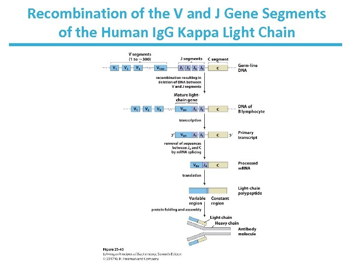 Recombination of the V and J Gene Segments of the Human Ig. G Kappa