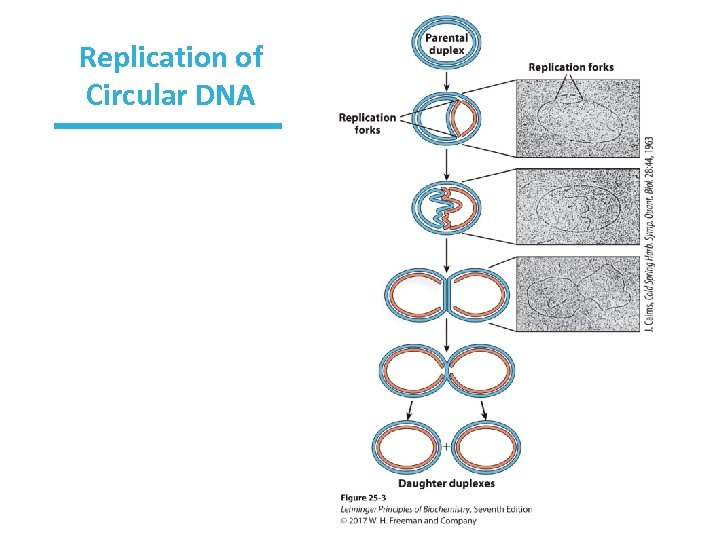 Replication of Circular DNA