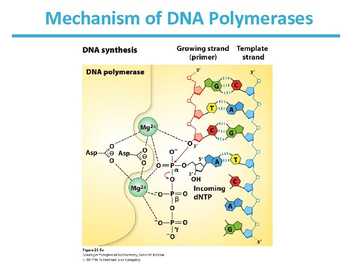 Mechanism of DNA Polymerases