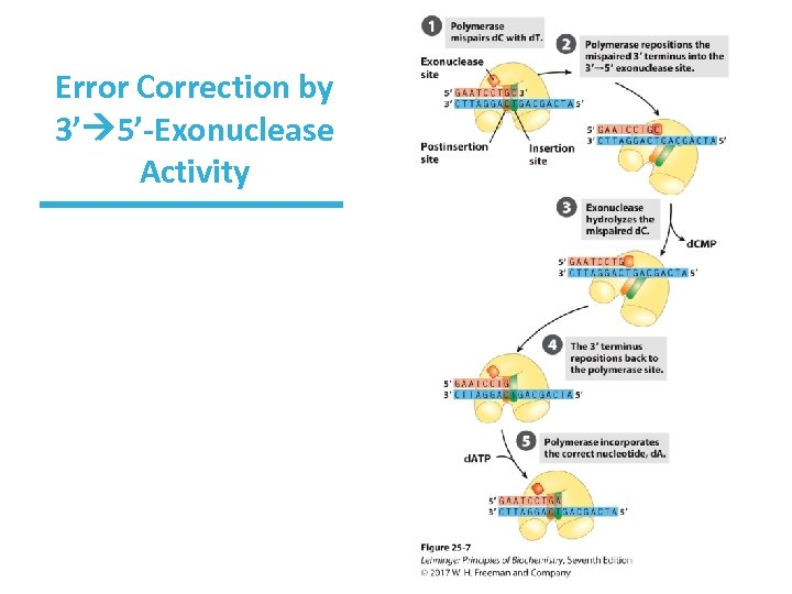 Error Correction by 3' 5'-Exonuclease Activity