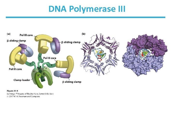 DNA Polymerase III