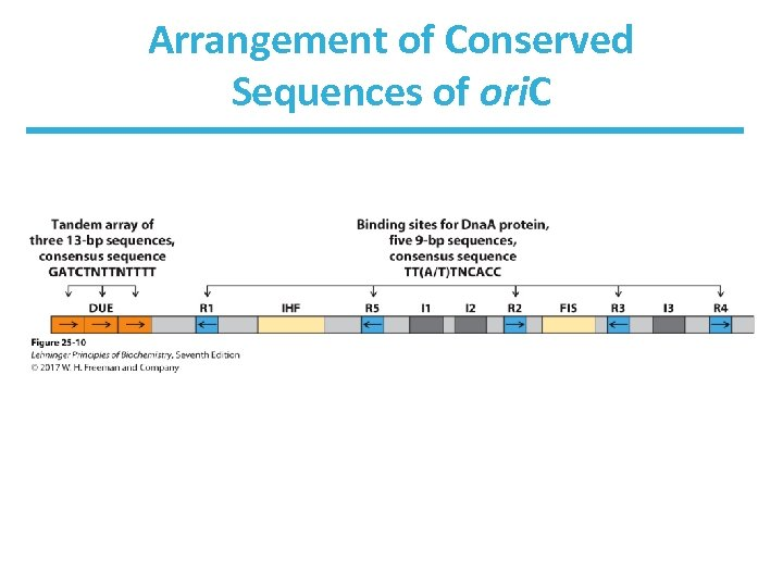 Arrangement of Conserved Sequences of ori. C
