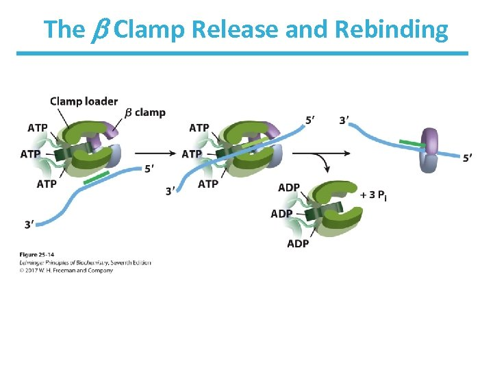 The Clamp Release and Rebinding