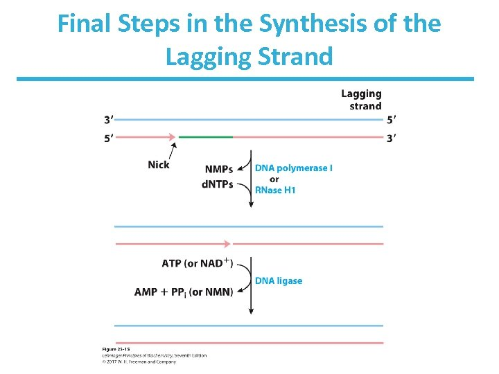 Final Steps in the Synthesis of the Lagging Strand
