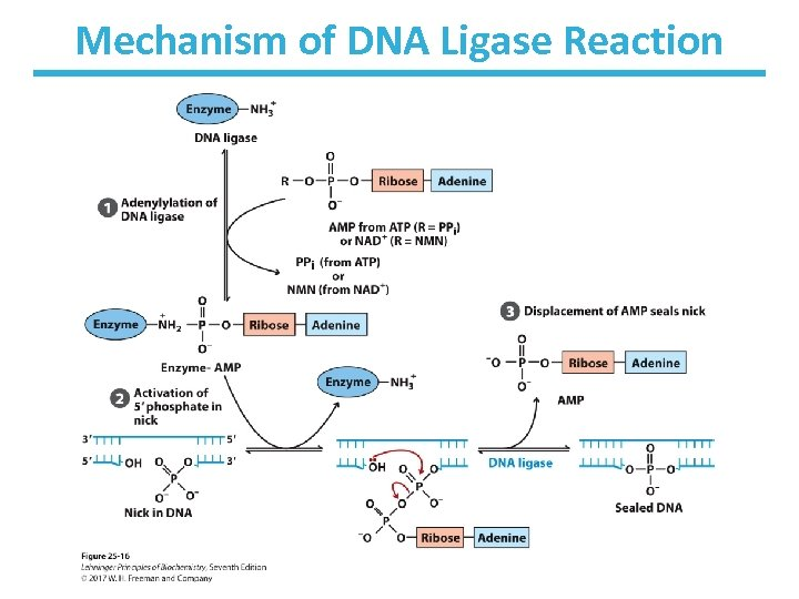 Mechanism of DNA Ligase Reaction