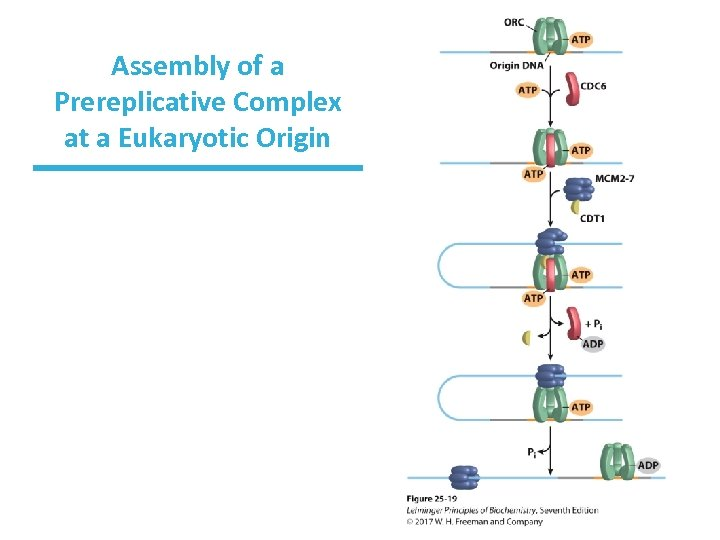 Assembly of a Prereplicative Complex at a Eukaryotic Origin