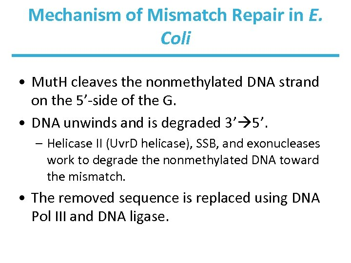 Mechanism of Mismatch Repair in E. Coli • Mut. H cleaves the nonmethylated DNA