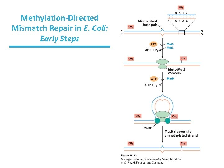 Methylation-Directed Mismatch Repair in E. Coli: Early Steps