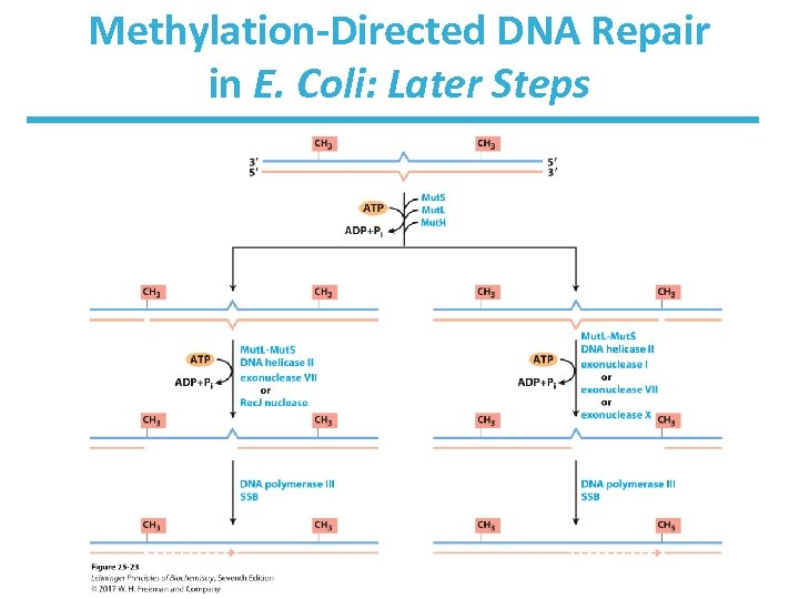 Methylation-Directed DNA Repair in E. Coli: Later Steps
