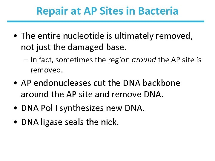 Repair at AP Sites in Bacteria • The entire nucleotide is ultimately removed, not