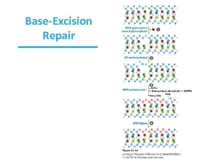 Base-Excision Repair