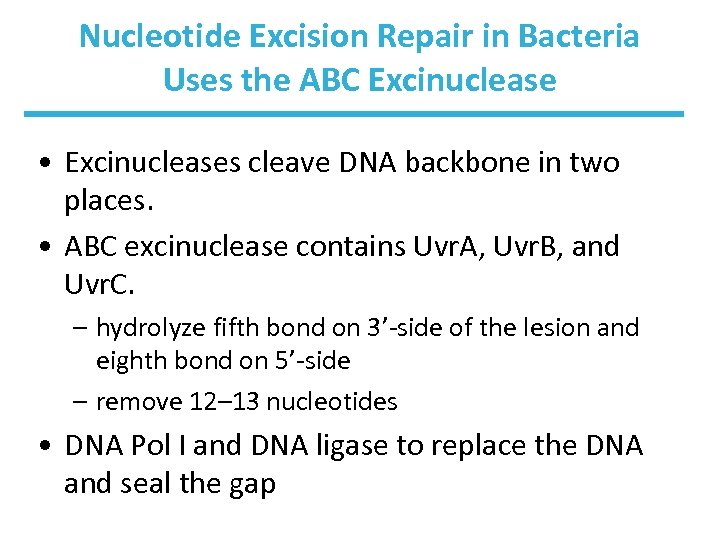 Nucleotide Excision Repair in Bacteria Uses the ABC Excinuclease • Excinucleases cleave DNA backbone