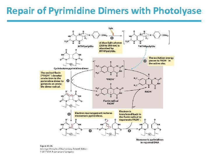 Repair of Pyrimidine Dimers with Photolyase