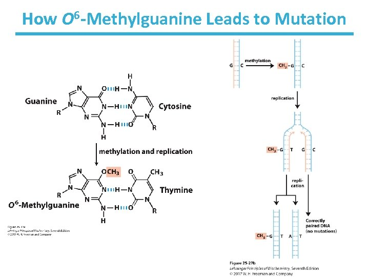 How O 6 -Methylguanine Leads to Mutation
