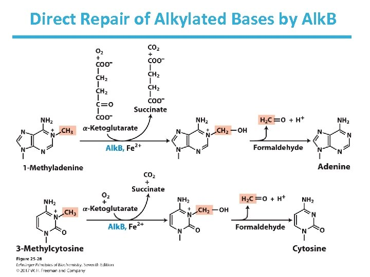 Direct Repair of Alkylated Bases by Alk. B