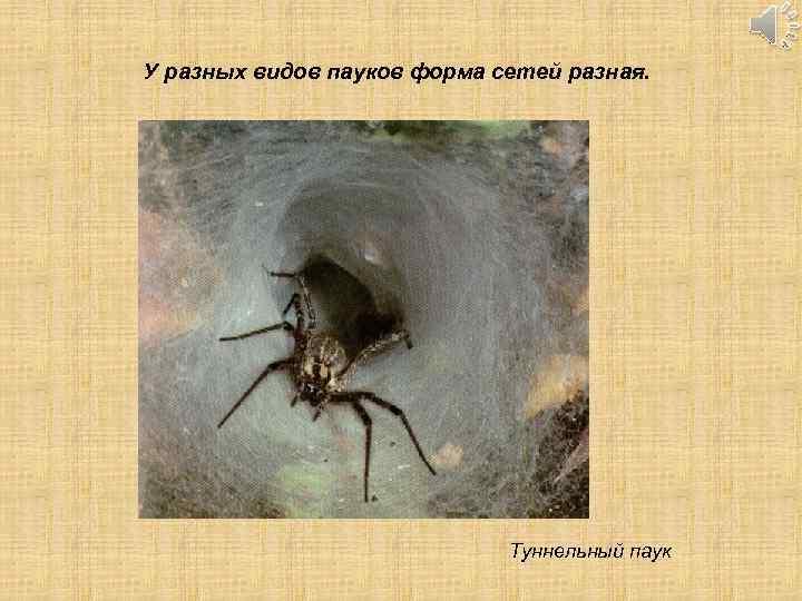 У разных видов пауков форма сетей разная. Туннельный паук