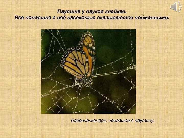 Паутина у пауков клейкая. Все попавшие в неё насекомые оказываются пойманными. Бабочка-монарх, попавшая в