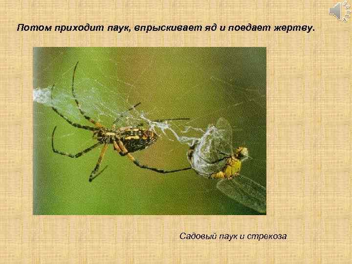 Потом приходит паук, впрыскивает яд и поедает жертву. Садовый паук и стрекоза